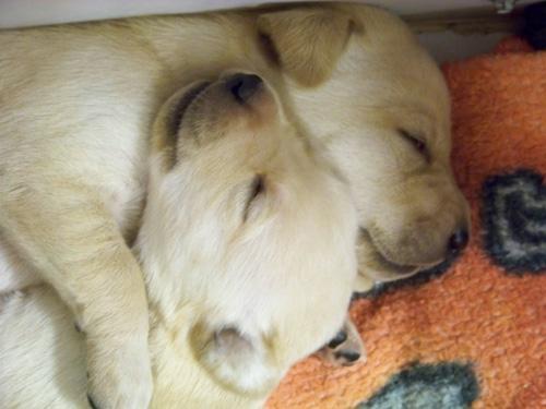 Akc Labrador Retriever Puppies Texas
